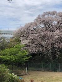 0203028-sugaogaoaksakura